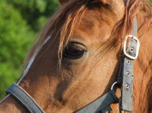 arabic blood horse - photo by Mrs Hajnalka Ardai