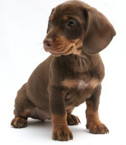 young dachshund photo by Kostas Jariomenko
