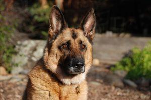 933490_german_shepherd_dog_mark-anderson.jpg