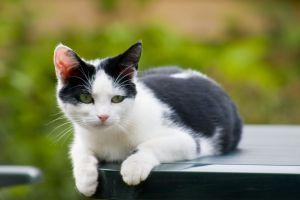 black white cat -  photo by Cornelis Steenstra