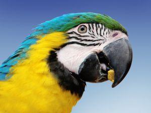 parrot arara eating - photo by Alessandro Paiva