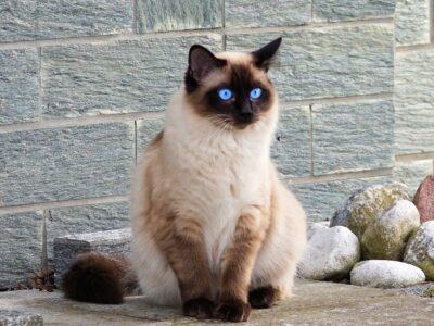 The Cat Species - Siamese